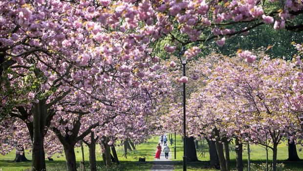 People walk along a path lined with cherry blossoms in Harrogate, Yorkshire