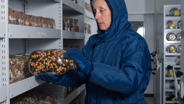 The seeds are being banked at Kew's Millennium Seed Bank (RGB Kew/PA)