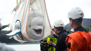 The Sea Life Trust team move beluga whale Little Grey from a tugboat in Klettsvik Bay, Iceland (Aaron Chown/PA)