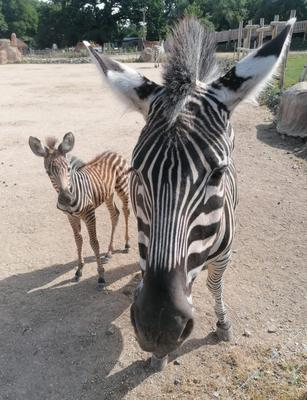 Vera was born on June 7 (Wild Place Project/Bristol Zoological Society)