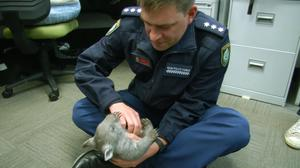 A police officer plays with Ted, a baby wombat (NSW Police Force/PA)