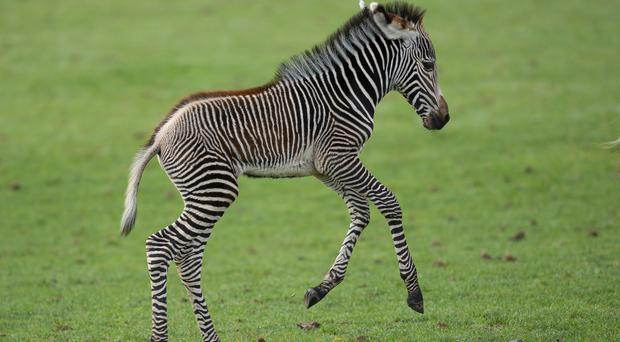 The newborn foal in the field at Marwell Zoo (Marwell Wildlife/PA)