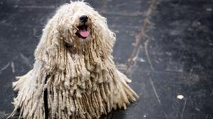A Hungarian Puli at the Birmingham National Exhibition Centre (NEC) during the third day of the Crufts Dog Show (Jacob King/PA)