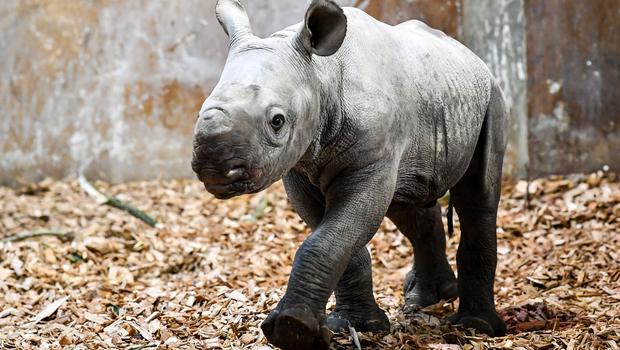 He is the first rhino to be born in wales, according to the zoo (Ben Birchall/PA)