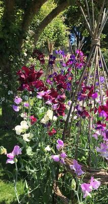Sweet peas trailing up a wicker trellis made by the Duchess of Gloucester, who also took the photograph (Buckingham Palace/PA)