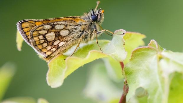 The forest has been restored to support the butterfly (Adam Gor/Butterfly Conservation/PA)