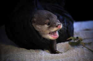 Otters check-up