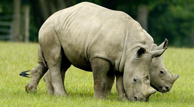 Rhino horn is believed to have many benefits in Chinese medicine (Peter Byrne/PA)