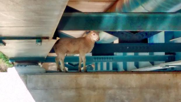 A sheep got stuck on a ledge under a bridge and had to be rescued at Stowbridge near King's Lynn, Norfolk. (RSPCA/ PA)