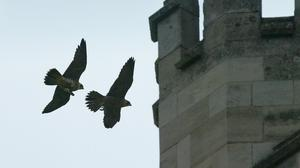 Trusts around the country have put webcams on buildings where peregrine falcons nest
