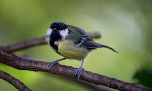 Researchers continuously filmed a wild population of great tits (Ben Birchall/PA)