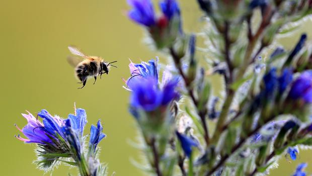 Bees and pollinating insects could be at risk (Gareth Fuller/PA)