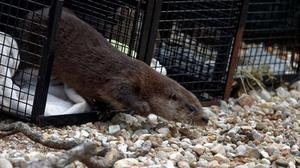 One of three orphaned otters is released in the Highlands (Colin Seddon/Scottish SPCA/PA)