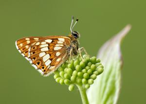 The threatened Duke of Burgundy has seen numbers stabilise in the past decade (Iain H Leach/Butterfly Conservation/PA)