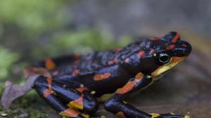 The Harlequin frog was widespread in Costa Rica and Panama until an introduced fungus from Asia decimated its populations, scientists say (Gerardo Ceballos/University of Mexico/PA)