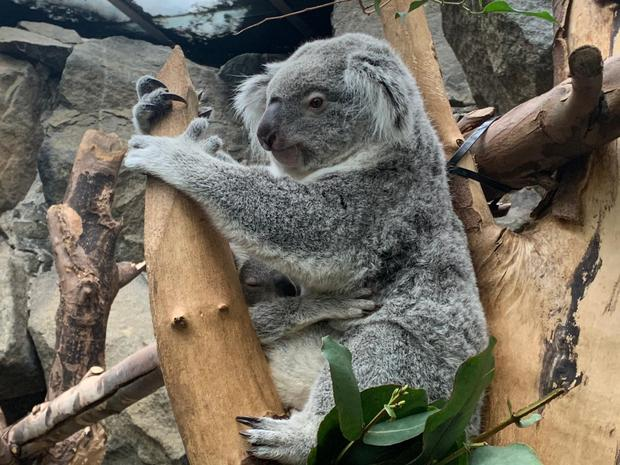 Dameeli has ventured out of his mother's pouch (RZSS/PA)
