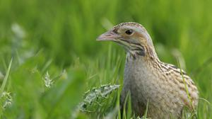 Corncrake populations fell dramatically with the advancement of farming (Andy Hay/RSPB)