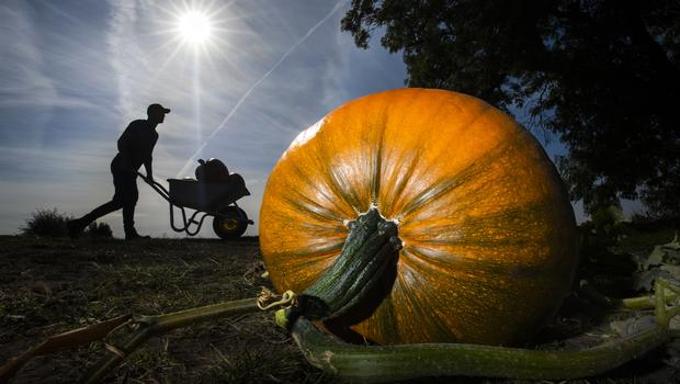 Farmer Tom Hoggard harvests pumpkins at Howe Bridge Farm in Yorkshire, ahead of Halloween (Danny Lawson/PA)