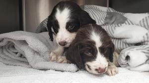 Spaniel puppies who were found abandoned in a box in Rochford, Essex,on 8 August 2020 (RSPCA/PA)