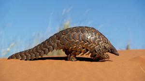 Pangolins are among the animals targeted in the illegal wildlife trade (WWF/PA)