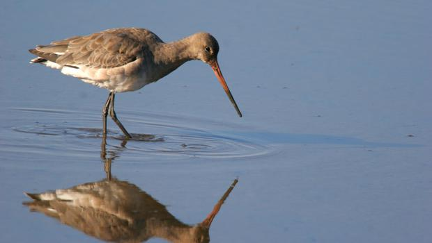 A project is aiming to boost numbers of rare breeding black-tailed godwits in the UK (Ray Cottrell/PA)