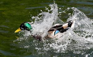 A duck cools off in Canterbury (Gareth Fuller/PA)