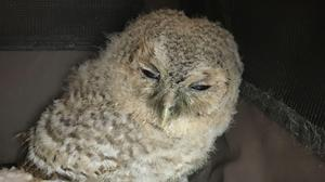 An underweight baby owl has been rescued by the RSPCA after it was found by a concerned dog walker in Mildenhall in Suffolk. (RSPCA/ PA)