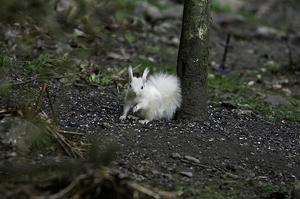 The white squirrel was spotted in a garden in Perthshire (Chris Eddington/PA)