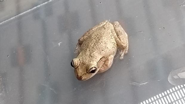 An exotic tree frog which stowed away in a suitcase and travelled to the UK from Florida (RSPCA)
