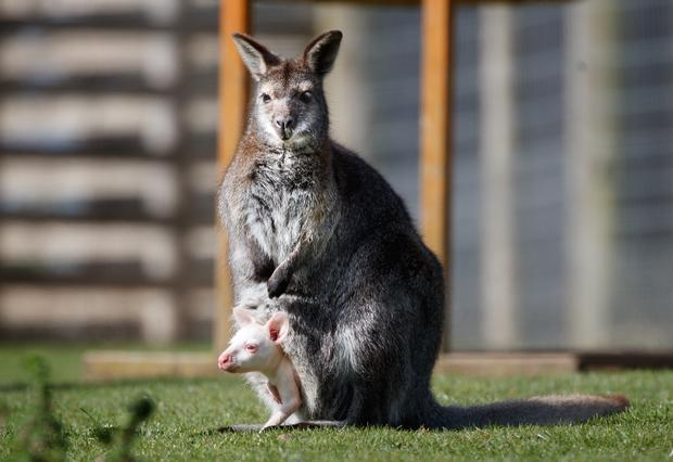Its mother is the usual colouring for wallabies (Danny Lawson/PA)