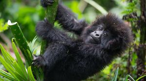 Tourists on gorilla treks should wear face masks and keep their distance to protect the wild animals from disease, researchers have said (WWF/PA)