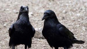 Cognitive performance of four-month-old ravens may parallel adult apes – study (Georgine Szipl/PA)