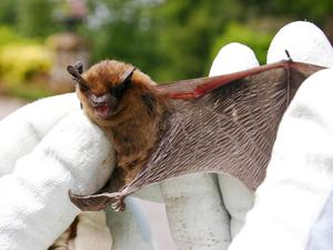 A pipistrelle bat, one of the most common species in the UK, has a wingspan of around 20cm (National Trust handout/PA)