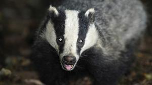1,879 badgers were killed in Gloucestershire and Somerset during the cull