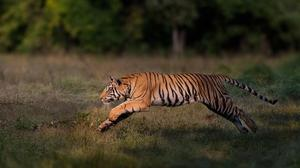 A male Bengal tiger in Bandhavgarh National Park, India (Nitish Madan/WWF-International/PA)