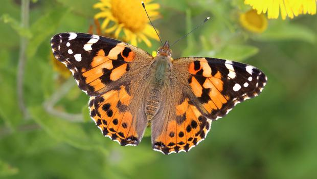 Painted ladies are a common immigrant to the UK (Mark Searle/Butterfly Conservation/PA)