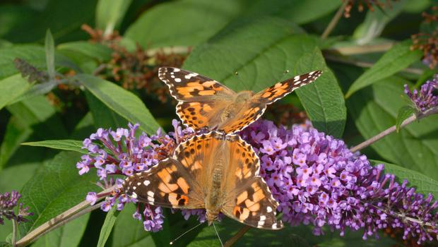 Painted ladies are one of a number of butterflies people are asked to look out for in the Big Butterfly Count (Jim Asher/Butterfly Conservation/PA)