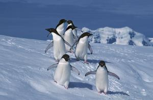 Penguins can swim faster than they can walk (British Antarctic Survey/PA)