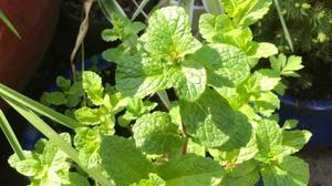 Mint is easily grown in a pot (PA)