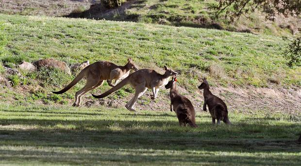 The kangaroos were killed in New South Wales (John Stillwell/PA)