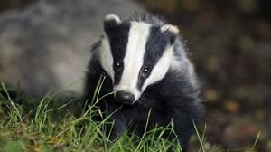 Badger culls are to be gradually phased out, the Government has said (Ben Birchall/PA)