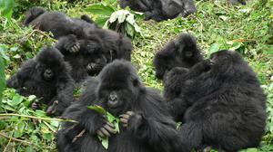 Gorillas develop better relationships in groups of 12-20, a study suggests (Dian Fossey Gorilla Fund/PA)