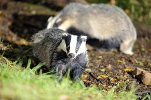Concerns were raised about a proposed badger cull in Nottinghamshire (Ben Birchall/PA)