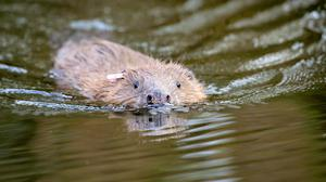 Beavers are making themselves at home on the National Trust's Holnicote estate in Somerset (Ben Birchall/PA)