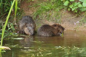 The beavers have been breeding successfully for years on the river (Mike Symes/Devon Wildlife Trust/PA)
