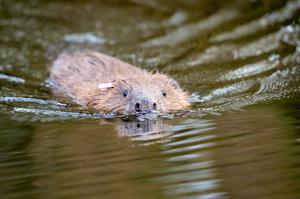 Beavers, which have been reintroduced, are classed as endangered (Ben Birchall/PA)