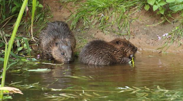 A number of beaver families are living on the River Otter (Michael Symes/Devon Wildlife Trust/PA)