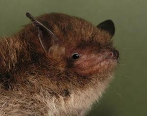 Bats, like this Daubenton's species, are protected in the UK (Bat Conservation Trust/PA)