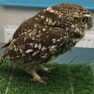 Undated handout photo issued by the Suffolk Owl Sanctuary of Plump the owl, who ate so many mice and voles that she became too fat to fly and was put on a diet at Suffolk Owl Sanctuary, where staff gave her the nickname.
