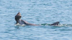 Dolphins usually learn how to hunt for food by learning from their mother but scientists believe some acquire skills from peers too (Sonja Wild – Dolphin Innovation Project/PA)